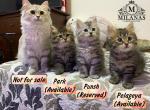 New litter - Siberian Kitten For Sale -
