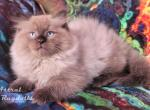 Adonis Seal point Mink Ragdoll - Ragdoll Kitten For Sale -