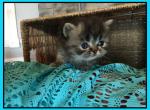 Silverbells 1 - Persian Kitten For Sale - KY, US