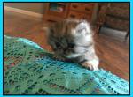Silverbells 2 - Persian Kitten For Sale - KY, US