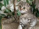 Mari - Scottish Fold Kitten For Sale -