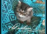 Miss White Chin - Persian Kitten For Sale - KY, US