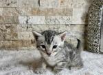 Light Purple - Bengal Kitten For Sale -
