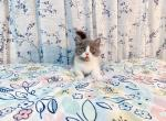 taki - Munchkin Kitten For Sale -