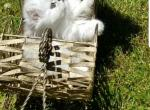 Light Silver shaded  Chinchilla Doll face Persian - Persian Kitten For Sale -