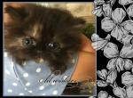 Black Tortie Persian kitten - Persian Kitten For Sale - KY, US