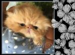 Red Persian - Persian Kitten For Sale - KY, US
