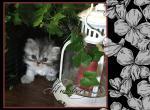 Silver Girl Dora - Persian Kitten For Sale - KY, US
