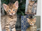 Several PIXIEBOB kittens ranging in age - Pixie-Bob Kitten For Sale