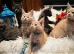 UPDATE Amelia x Xaier litter 5 weeks old all males - Maine Coon Kitten For Sale -