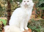 Nova - Maine Coon Cat For Sale/Retired Breeding -