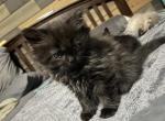 Kiwi - Exotic Kitten For Sale -
