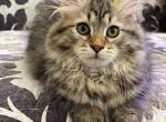 Park - Siberian Kitten For Sale -