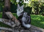 Kandy - Maine Coon Kitten For Sale -