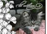 Persian Regal - Persian Kitten For Sale - KY, US