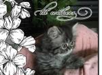 persian sweet girl - Persian Kitten For Sale - KY, US