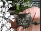 Persian Girl Corabella - Persian Kitten For Sale - KY, US