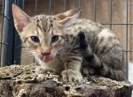 Available now Male F5 SBT Savannah Kitten - Savannah Kitten For Sale -