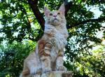 Avicii - Maine Coon Kitten For Sale - Los Angeles, CA, US