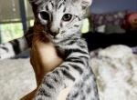 Beautiful silver girl Savannah F6 - Savannah Kitten For Sale - FL, US