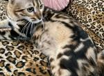 Lady Lava Litter coming soon - Cheetoh Kitten For Sale -