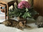 Kittens available now - Bengal Kitten For Sale -