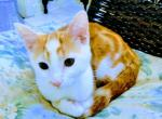 Tres - Domestic Kitten For Sale -