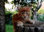 Dakota - Maine Coon Kitten For Sale - Los Angeles, CA, US