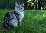 Candy - Maine Coon Kitten For Sale - Los Angeles, CA, US