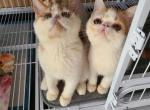 exotics - Exotic Kitten For Sale -