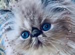 Beljapur cattery Blue Diamond - Persian Kitten For Sale -