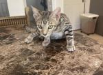 Thelma - Bengal Kitten For Sale -