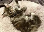 Dalra & Bugatti - Maine Coon Kitten For Sale -