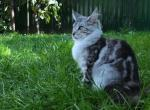 Candy - Maine Coon Kitten For Sale -