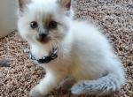 Maurice - Ragdoll Kitten For Sale -