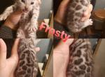 Frosty - Bengal Kitten For Sale -