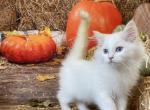 Flame Point Mitted Male - Ragdoll Kitten For Sale -
