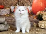 Chocolate Point Bicolor Female - Ragdoll Kitten For Sale -