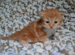 Troy - Siberian Kitten For Sale -