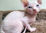 Blizzard - Sphynx Kitten For Sale -