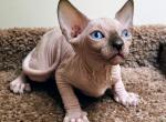Mia - Sphynx Kitten For Sale -
