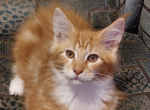 Tommi - Maine Coon Kitten For Sale -