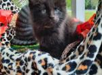 Bodacious - Maine Coon Kitten For Sale -