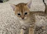 Bella F5 - Savannah Kitten For Sale -
