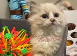 ᴄɪʀᴄᴜs ᴄɪʀᴄᴜs - Ragdoll Kitten For Sale - Amelia Court House, VA, US