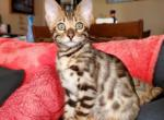 Molly - Bengal Kitten For Sale -