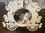 Scottish Fold And Straight Litter - Scottish Fold Kitten For Sale -