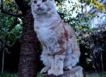 Avicii - Maine Coon Kitten For Sale -