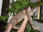 Max - Savannah Kitten For Sale -