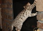 Jasmin - Savannah Kitten For Sale -